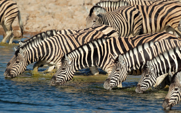 Plains Zebras drinking water